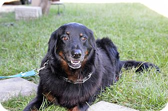 Collie/Border Collie Mix Dog for adoption in Clinton, Louisiana - Rilee