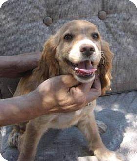 Cocker Spaniel/Dachshund Mix Puppy for adoption in Phoenix, Arizona - JR