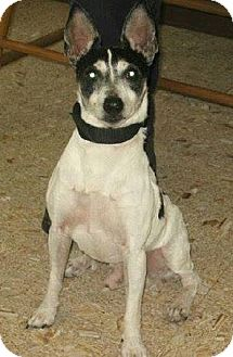 Fox Terrier (Smooth)/Terrier (Unknown Type, Small) Mix Dog for adoption in North Olmsted, Ohio - Zane