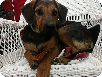 Redbone Coonhound/Golden Retriever Mix Dog for adoption in Linton, Indiana - Rocky