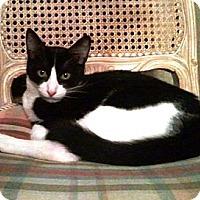 Adopt A Pet :: Sylvester - Cerritos, CA