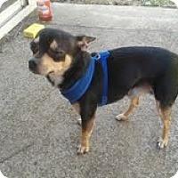 Adopt A Pet :: ChiChi- in Dayton Ohio - Dayton, OH