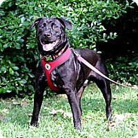 Labrador Retriever/American Bulldog Mix Dog for adoption in nashville, Tennessee - True