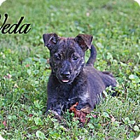 Adopt A Pet :: Veda - Knoxville, TN