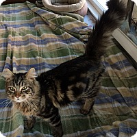 Adopt A Pet :: Maine Coon mix LH 6 mo M cat - Manasquan, NJ