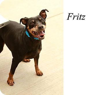 Miniature Pinscher Dog for adoption in Keller, Texas - Fritz