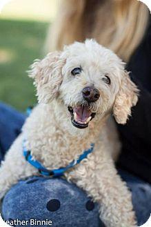 Poodle (Miniature) Mix Dog for adoption in Tucson, Arizona - Skippy