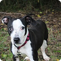 American Staffordshire Terrier Mix Dog for adoption in Danville, Illinois - HANNAH