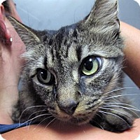 Adopt A Pet :: Lily Maine Coon Mix Beauty - Brooklyn, NY