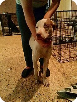 American Pit Bull Terrier/American Staffordshire Terrier Mix Dog for adoption in Kill Devil Hills, North Carolina - Diamond