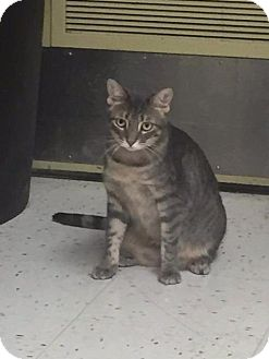 Domestic Shorthair Cat for adoption in Fenton, Missouri - Payton