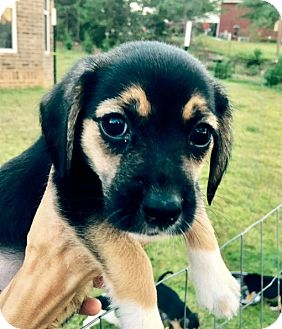 Beagle Mix Puppy for adoption in East Windsor, Connecticut - Feisty-ADOPTION PENDING