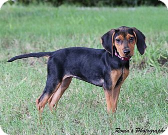 Black and Tan Coonhound Mix Dog for adoption in Virginia Beach, Virginia - Rizzo