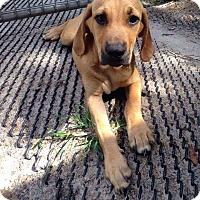 Adopt A Pet :: Kovu - Groveland, FL