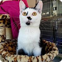 Adopt A Pet :: Baby Kitten Katashian ~ Rob - Akron, OH