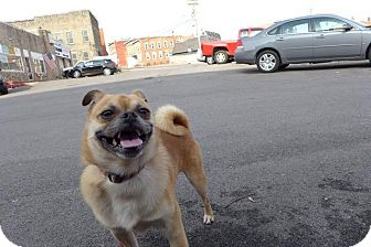Pug/Pomeranian Mix Dog for adoption in Gloversville, New York - Scrappy Doo