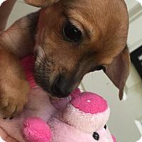 Adopt A Pet :: Bean - Valencia, CA