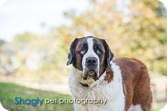 St. Bernard Dog for adoption in McKinney, Texas - Sebastian