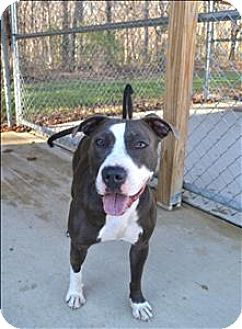 American Pit Bull Terrier Mix Dog for adoption in Delaware, Ohio - Chloe