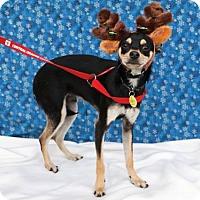 Adopt A Pet :: Badger - Tustin, CA