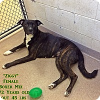 Adopt A Pet :: 1-1 Ziggy - Triadelphia, WV
