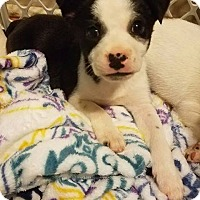 Chihuahua Mix Puppy for adoption in Aiken, South Carolina - Chance
