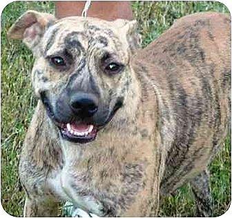 American Staffordshire Terrier/Akita Mix Dog for adoption in Slidell, Louisiana - Zena