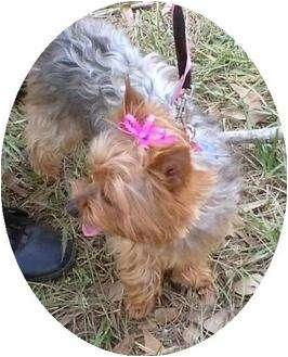 Yorkie, Yorkshire Terrier Dog for adoption in Conroe, Texas - Piper