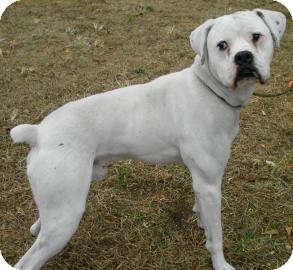 Boxer Dog for adoption in Lincolnton, North Carolina - Apollo