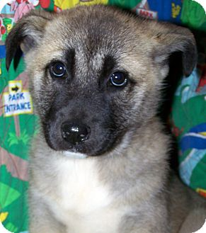 Labrador Retriever/Shepherd (Unknown Type) Mix Puppy for adoption in Sherman, Connecticut - Lillian Betty's Dog