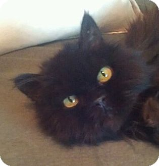 Persian Cat for adoption in Davis, California - Nicholas Nickleby
