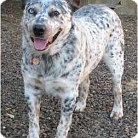 Adopt A Pet :: Brando (Bear) ADOPTION PENDING - Phoenix, AZ