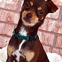 Adopt A Pet :: Louie - Bridgeton, MO