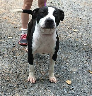 Pit Bull Terrier Mix Dog for adoption in Asheboro, North Carolina - Monique