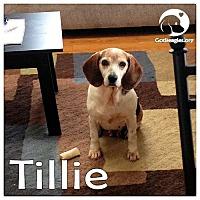 Adopt A Pet :: Tillie - Novi, MI