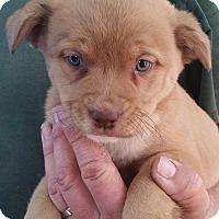 Adopt A Pet :: Little Lola Lopp - Gainesville, FL
