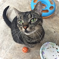 American Shorthair Cat for adoption in levittown, New York - FRIDAY