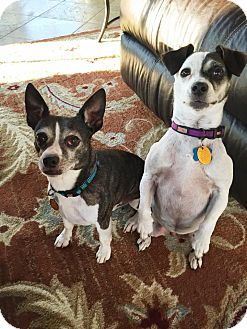 Boston Terrier/Jack Russell Terrier Mix Dog for adoption in Georgetown, Kentucky - Dillon and Darlin