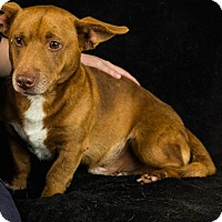Adopt A Pet :: Duffy-adoption pending - Norwalk, CT