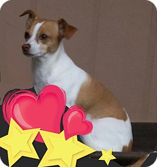 Chihuahua/Terrier (Unknown Type, Small) Mix Dog for adoption in Indianapolis, Indiana - Princess