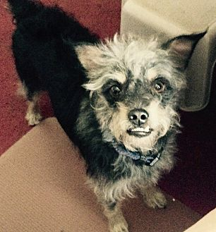 Brussels Griffon/Terrier (Unknown Type, Small) Mix Dog for adoption in Jacksonville, Florida - Ben