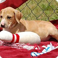 Adopt A Pet :: Rufus - Manning, SC