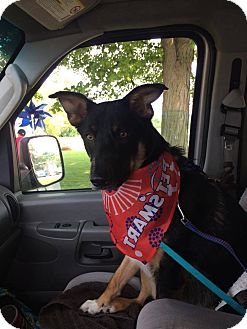 German Shepherd Dog/Collie Mix Dog for adoption in Silver Lake, Wisconsin - Spartacus