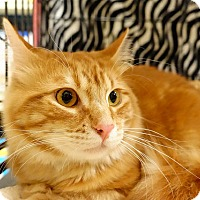 Maine Coon Cat for adoption in College Station, Texas - Patrick