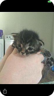 Domestic Shorthair Kitten for adoption in Alva, Oklahoma - Chase 1441