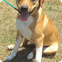 Labrador Retriever/Terrier (Unknown Type, Medium) Mix Puppy for adoption in Reeds Spring, Missouri - Marshall
