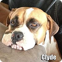 Adopt A Pet :: Clyde - Encino, CA
