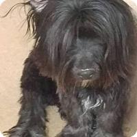 Adopt A Pet :: Pongo - Las Vegas, NV