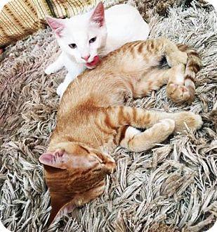 Domestic Shorthair Kitten for adoption in Ridgeland, South Carolina - Lydia