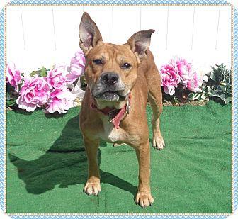 Shepherd (Unknown Type)/Boxer Mix Dog for adoption in Marietta, Georgia - WILLIE